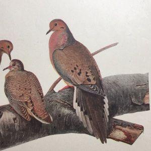 1913 Antique Ornithological Bird Print Original